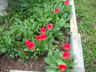 TulipsE