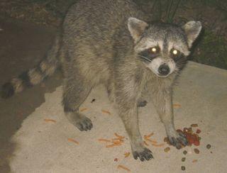 Raccoonjuly