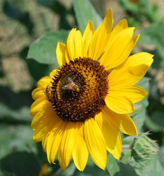 Beeonsunflower