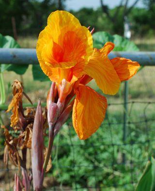 Orangecanna