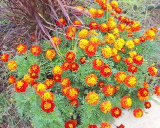 BuffaloOctflowers