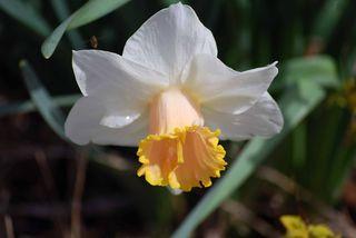 DaffodilApril