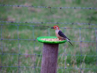 WoodpeckerAp17