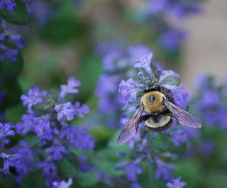 BumblebeeAp16b