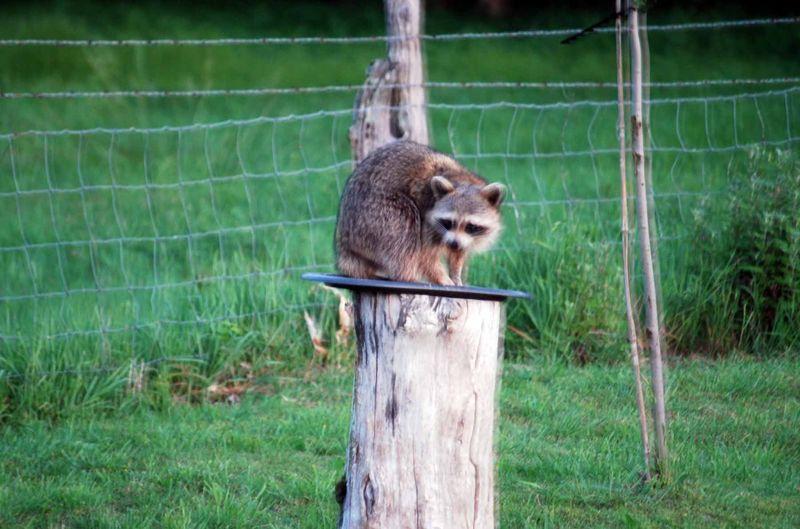 RaccoonMay6