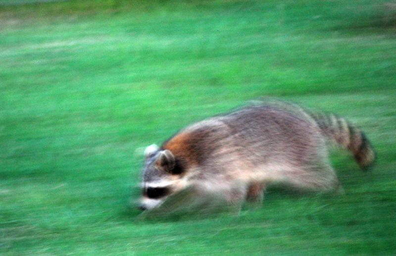 RaccoonMay6h