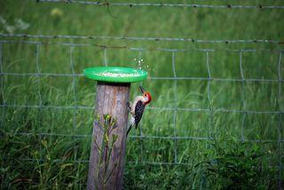 WoodpeckerfeederMay17a