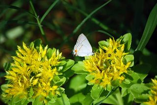 WhitebutterflyMay15