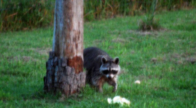 RaccoonMay19d