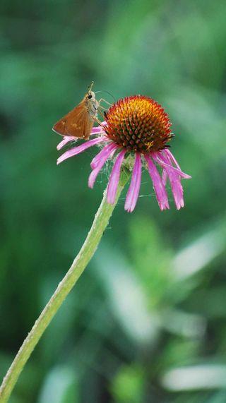 Coneflowerbutterfly2