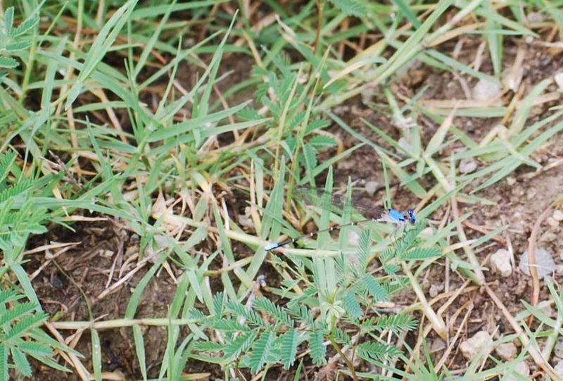 Blue dragonflyMay31