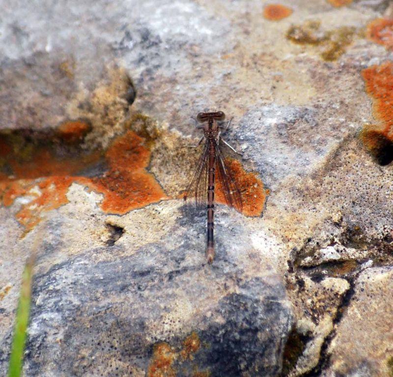BrowndragonflyMay31