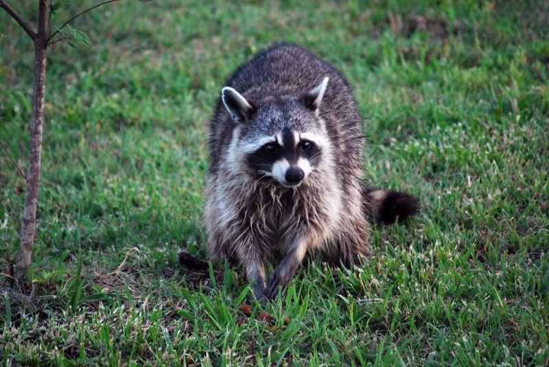 RaccoonMay31