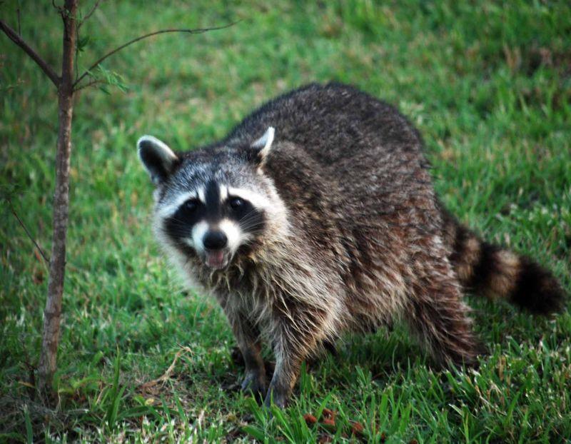 RaccoonMay31b