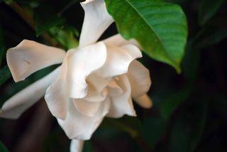 GardeniaJun1