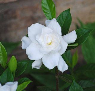 GardeniaJun3