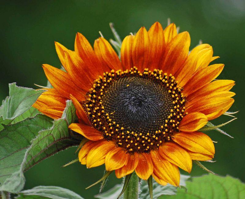 SunflowerJun10a