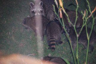 RaccoonsJun13g
