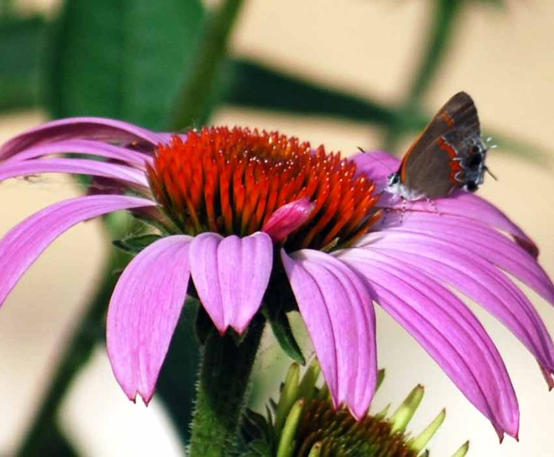 ButterflyconeJun14a