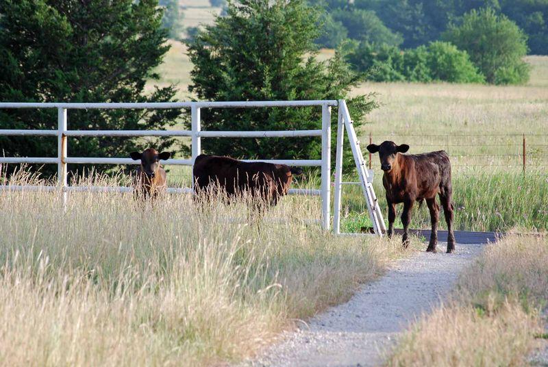 CowsJun14