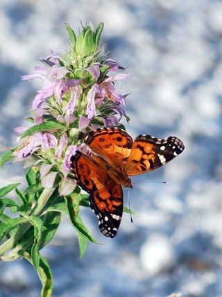 ButterflyJun14c