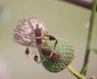 Bugsthistle2