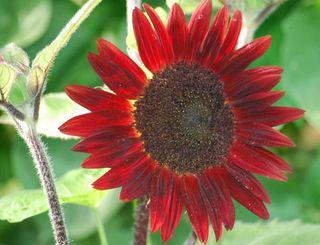 SunflowerJul12a