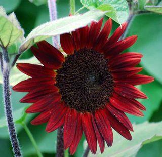 SunflowerJul12b