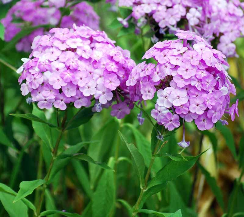 Eulaflowers2