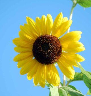 SunflowerJul23b