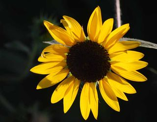 SunflowerJul29