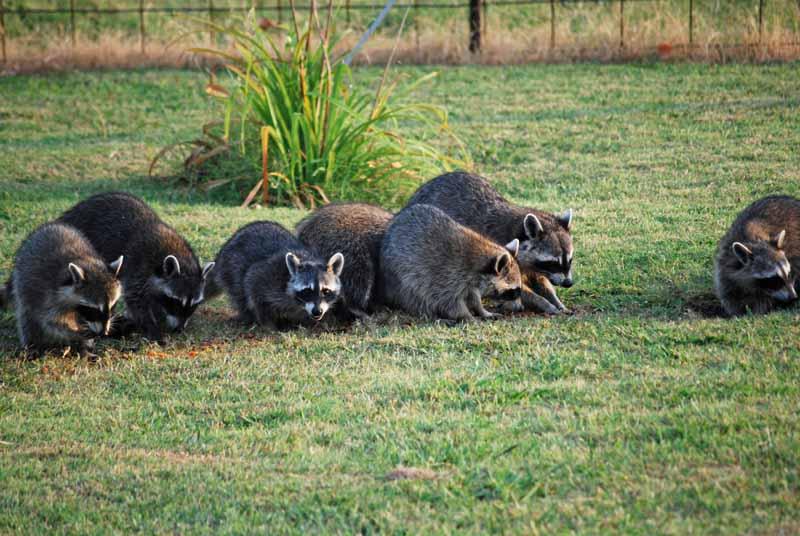 RaccoonsAug6
