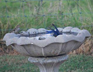 BluebirdunderAug12