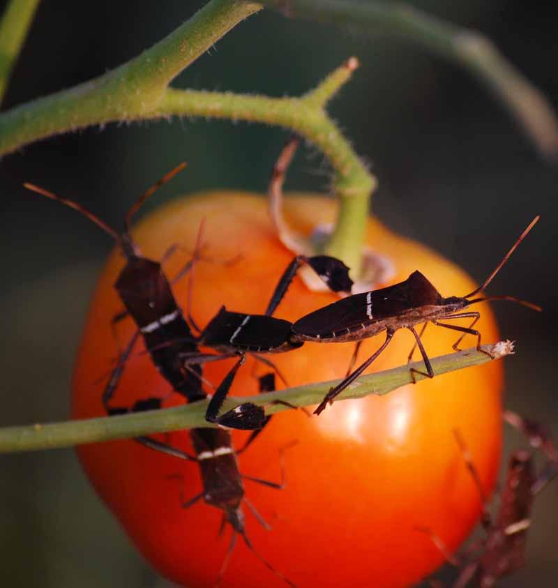 Tomatobugs2