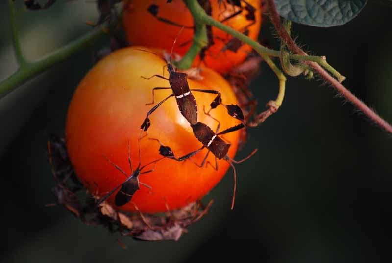 Tomatobugs