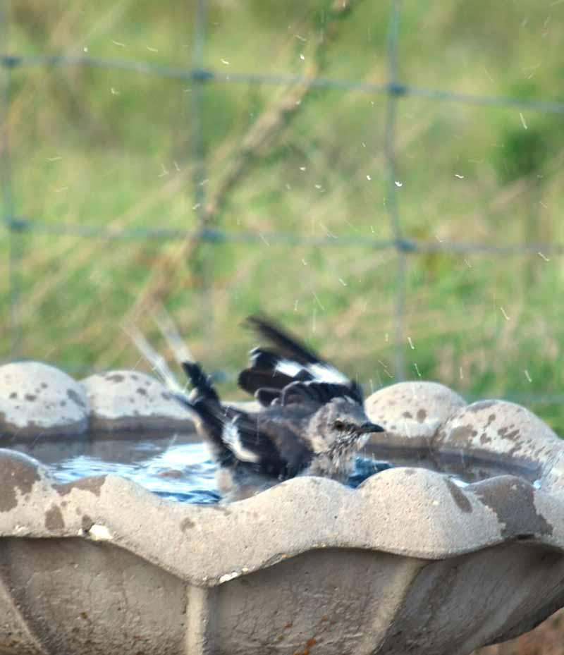 BirdbathAug26a