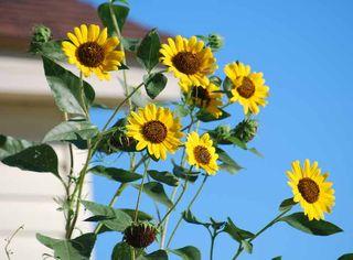 SunflowersSep4