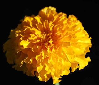 MarigoldSep4