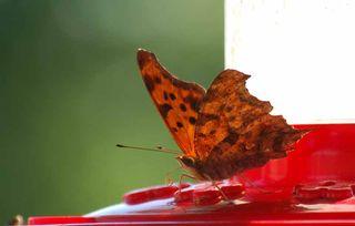 ButterflyhummerSep4