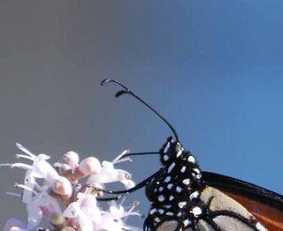 MonarchSep4anten