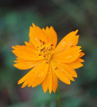 OrangecosmosSep7