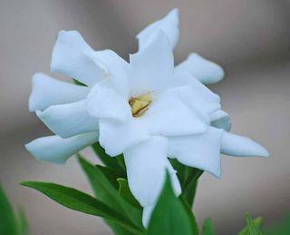 GardeniaSep21