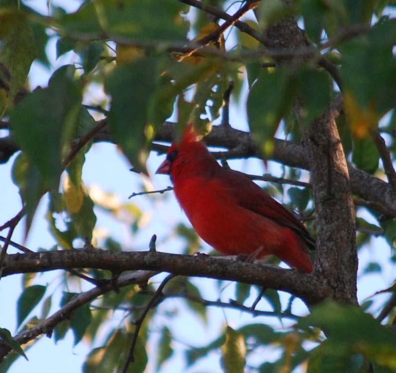 Red birdOct12