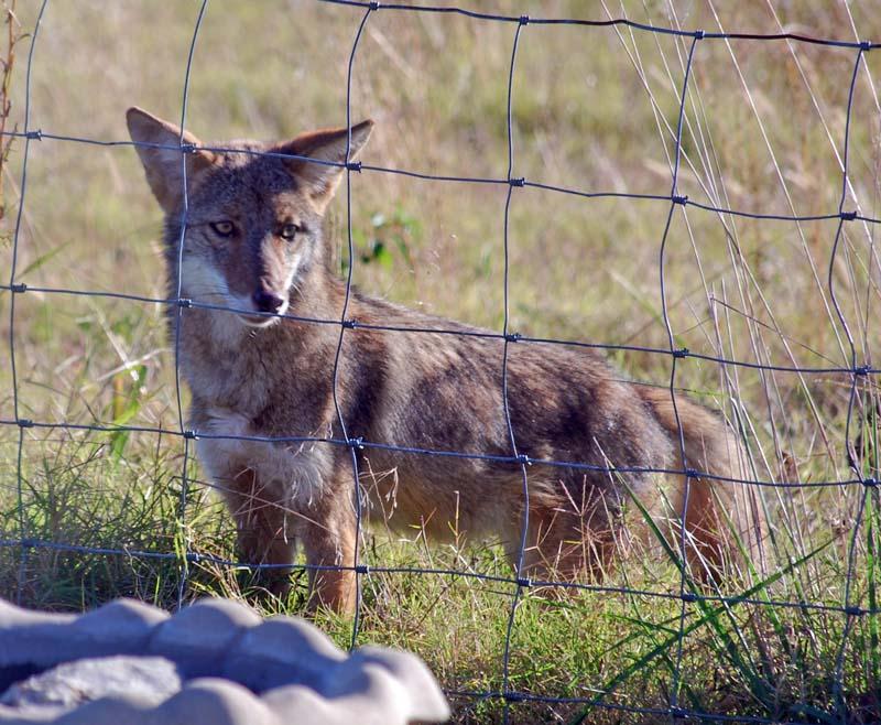 CoyoteOct30f