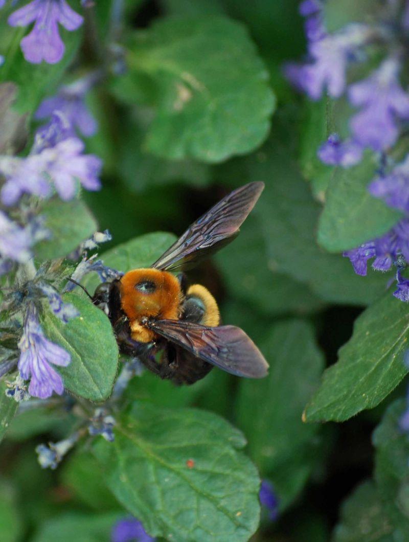 BumblebeeAp16