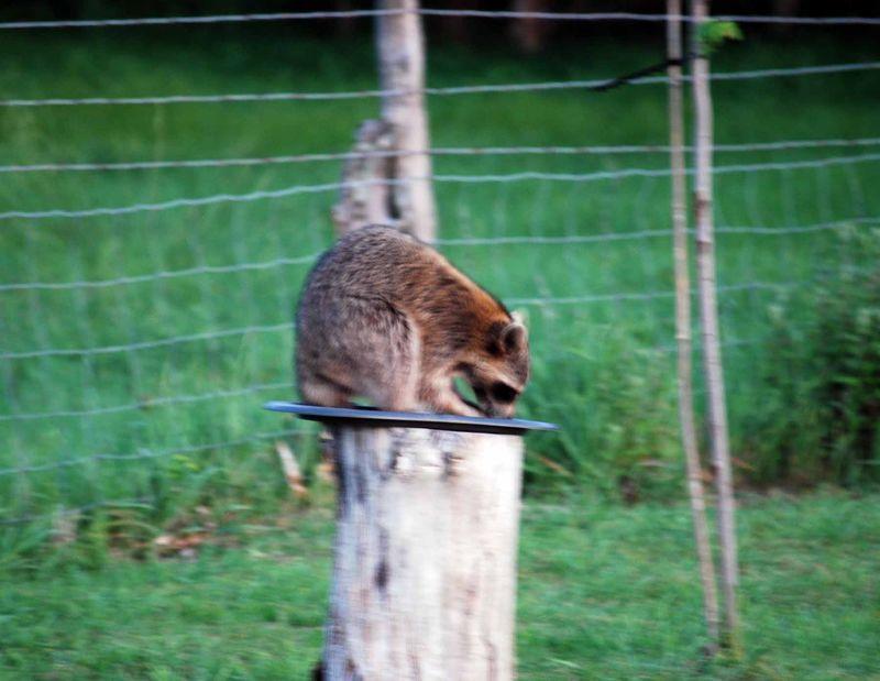 RaccoonMay6b