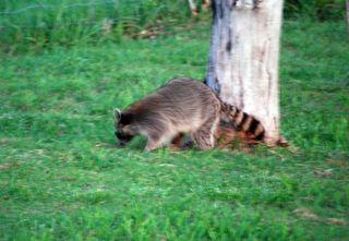 RaccoonMay6f