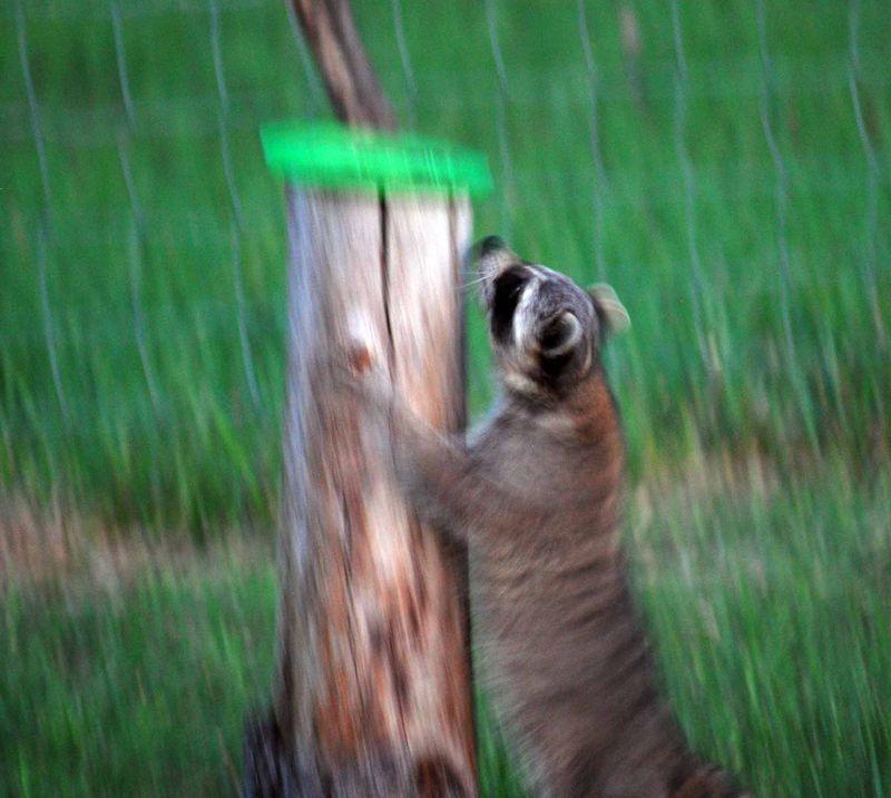 RaccoonMay6i