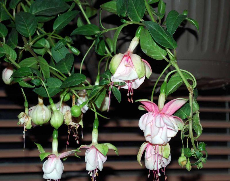 Fuchsia2