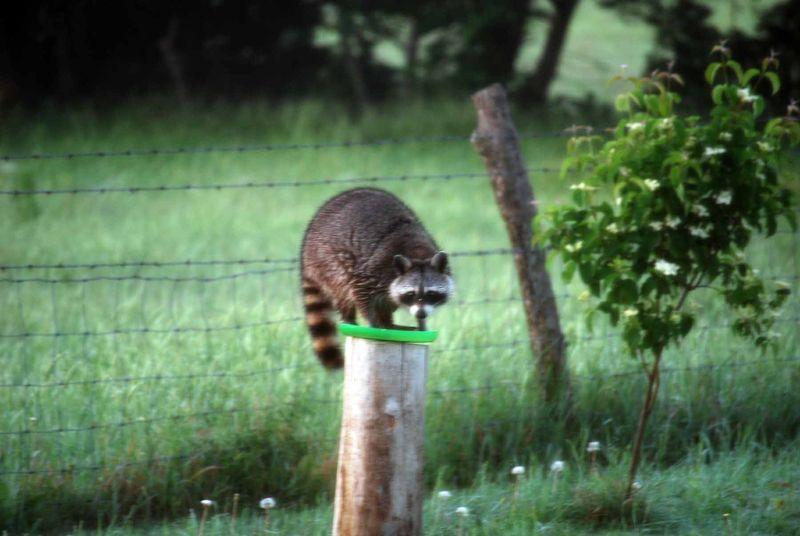 RaccoonMay17b